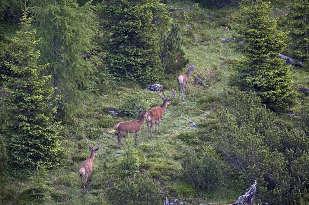 Red deer stags - Calanda