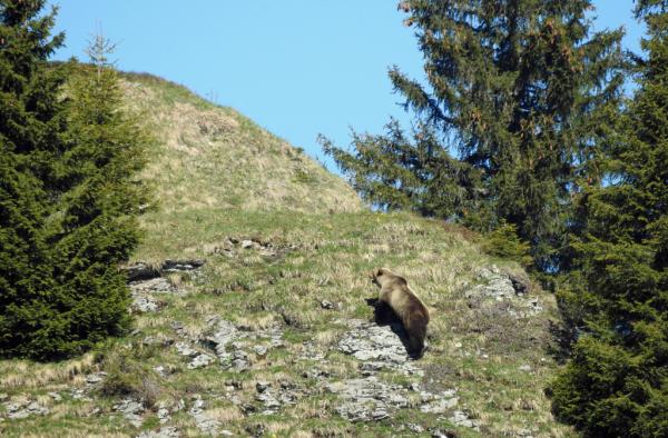 HANDOUT --- Am Freitag, 26. Mai 2017, wurde in der Gemeinde Eriz ein Baer gesichtet. Es ist der erste Nachweis eines wilden Baeren im Kanton Bern seit mehr als 190 Jahren. Wo sich das Tier aktuell aufhaelt, ist unklar. Der Baer von Eriz ist sehr scheu, er hat sich bisher voellig unauffaellig verhalten. (Jagdinspektorat des Kantons Bern) *** NO SALES, DARF NUR MIT VOLLSTAENDIGER QUELLENANGABE VERWENDET WERDEN ***